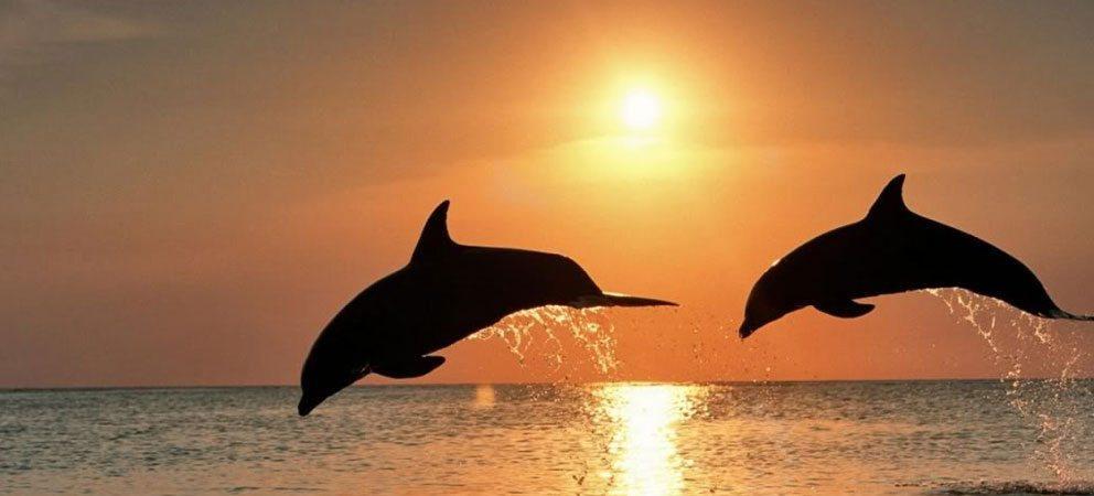 2 delfini nuotano nel mare di Rimini